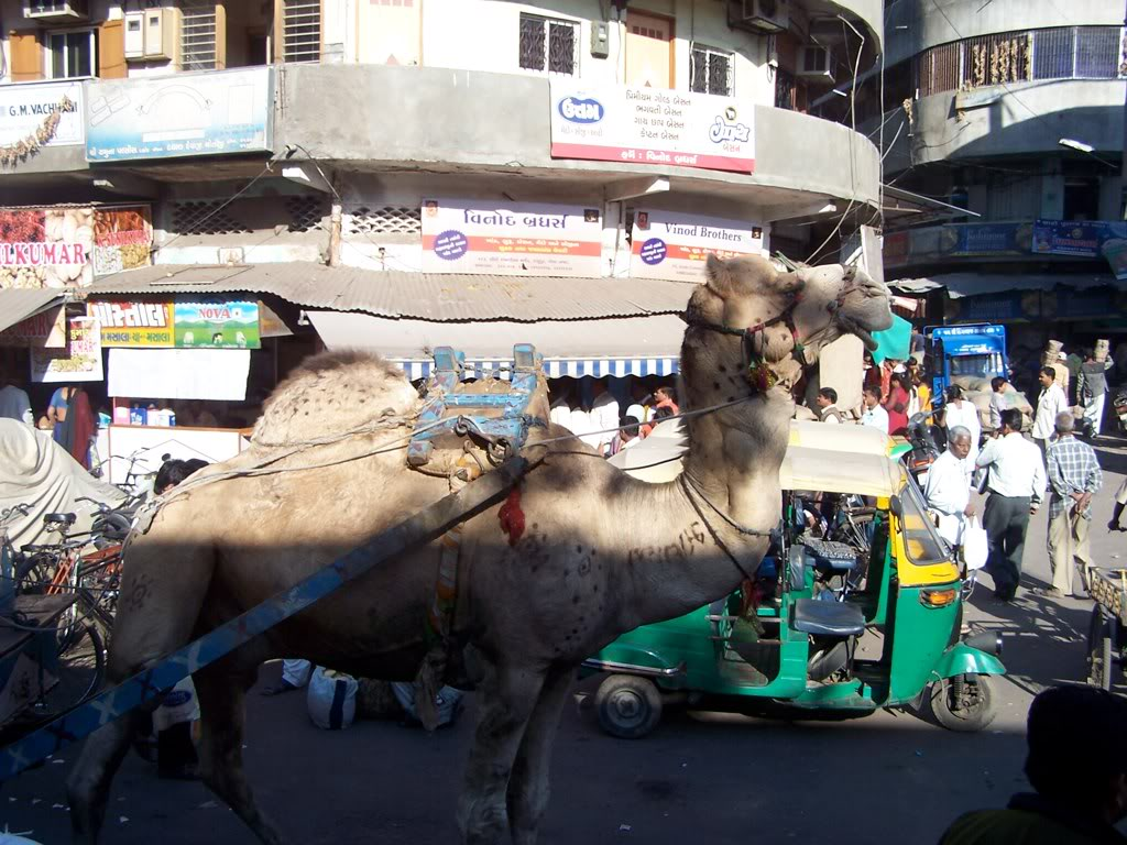 Camel during Ahmedabad Heritage Walking Tour