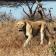 Hluhluwe-iMfolozi Game Reserve  Optional Excursion